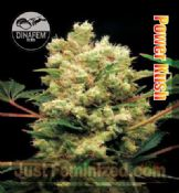 DinaFem Powerkush where to get cannabis single seeds feminized